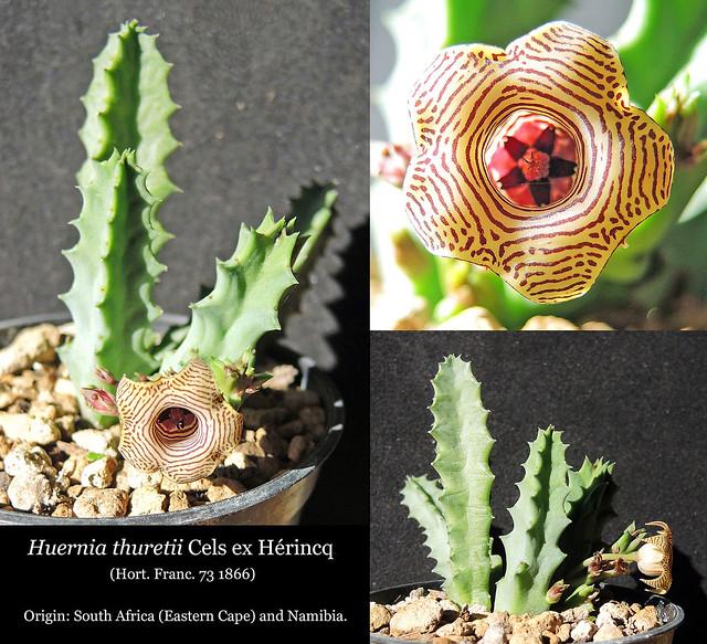 Huernia thuretii, Klawer (collage) 1
