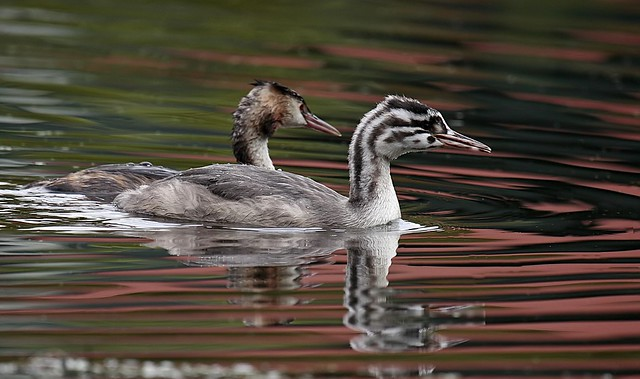 Great crested Grebe son with mother