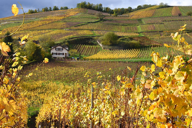 the House middle in the Wineyard (Alsace, F)