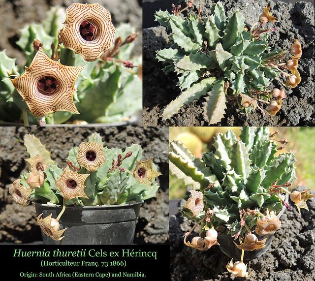 Huernia thuretii, Klawer (collage) 2
