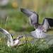 Black Tern chicks practising flight (Chlidonias niger) Zwarte stern