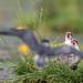 Black Tern coming in with food! (Chlidonias niger) Zwarte stern