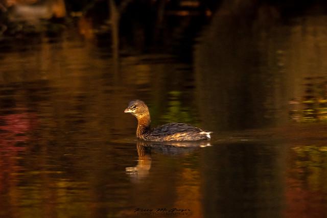 Pied Billed Grebe Duck