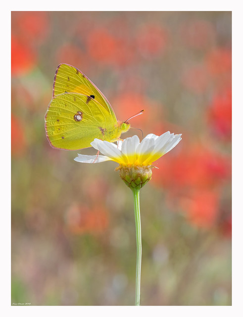Out of control (Colias croceus)