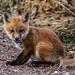 IMG_3474 fox kit