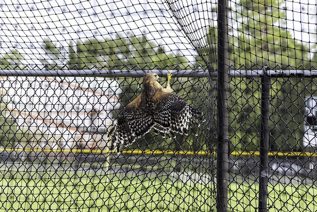 Trapped Red Shouldered hawk