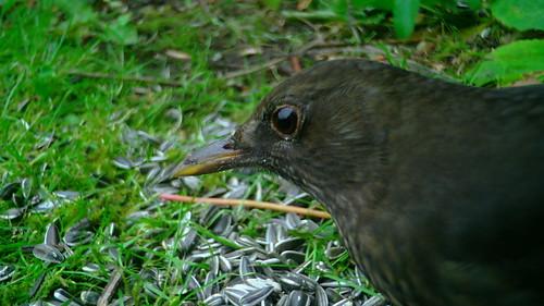 Musträstas / Common blackbird / Turdus merula