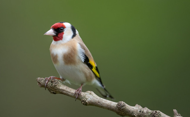 Male Goldfinch 'Carduelis carduelis'