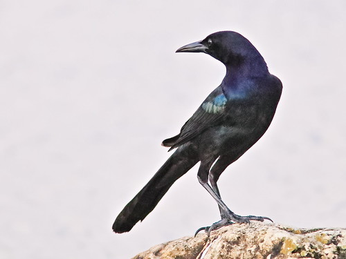 Boat-tailed Grackle 02-20191108