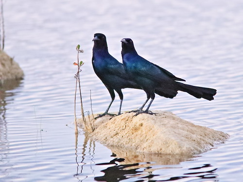 Boat-tailed Grackles 04-20191108