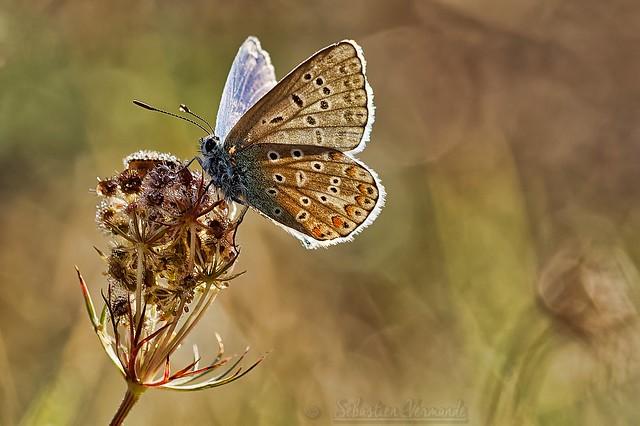 Polyommatus icarus ♂ - Argus bleu ♂
