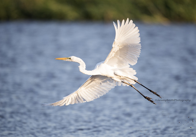Great Egret, Ardea alba, Msuna Fishing Resort, Zambezi River, Zimbabwe