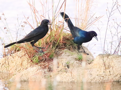 Boat-tailed Grackles 02-20191108