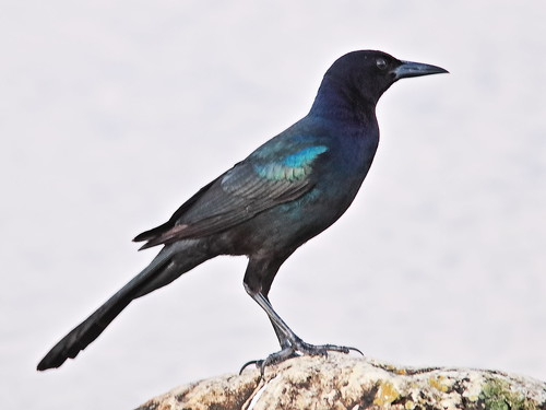 Boat-tailed Grackle 01-20191108
