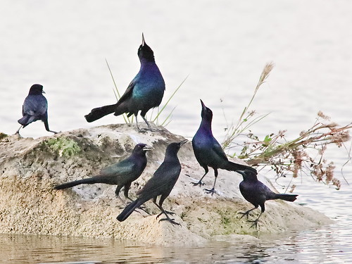 Boat-tailed Grackles 06-20191108