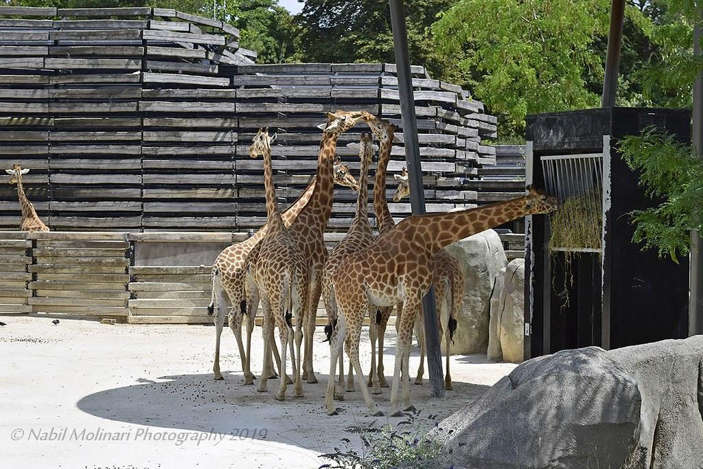 Zoo de Vincennes : Giraffa camelopardalis
