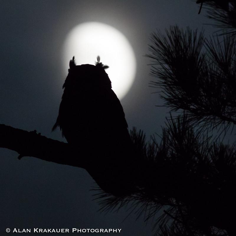 moon owl-3454