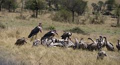 vultures-3