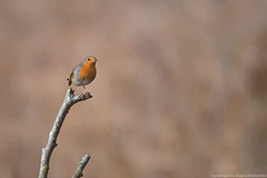 Rougegorge familier (Erithacus rubecula) - European Robin by Naturissima
