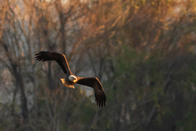 Bald Eagle in the Light