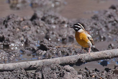 Golden-Breasted Bunting At The Watering Hole