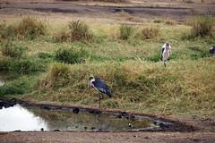 storks waiting for croc