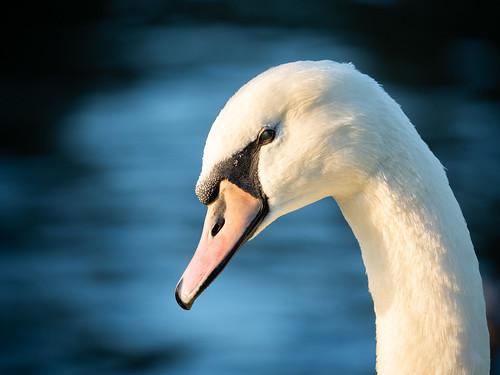 Swan portrait.jpg