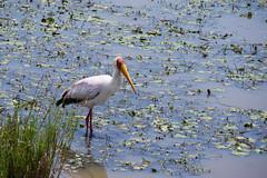 stork-white-3