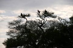 vulture in baobab