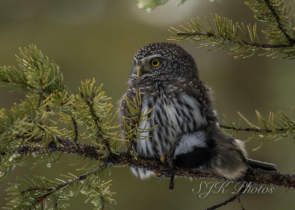 Northern Pygmy Owl Explore 9/11/2019