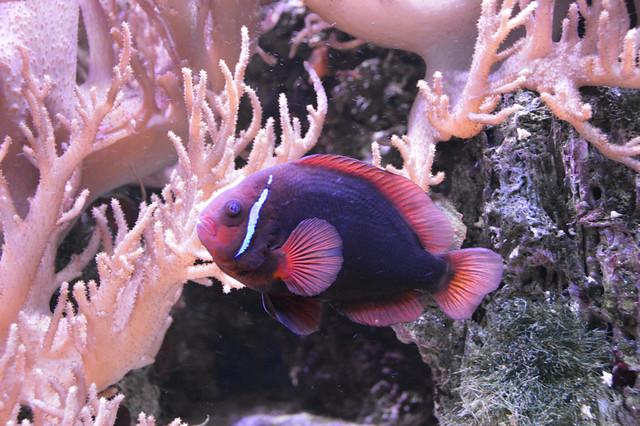 Tomato Clownfish (Amphiprioninae  frenatus)