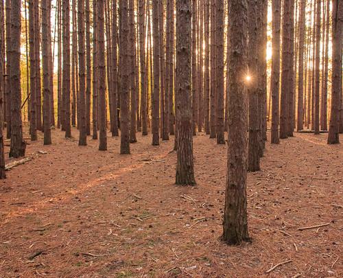 outdoors tree trees toledometroparks oakopeningspreserve pineneedles pinetrees canon sun sunrise nature