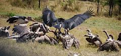 vultures-7