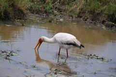 stork-white-4