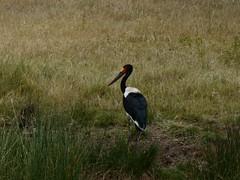 stork-saddle billed-2