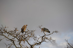 vulture and stork