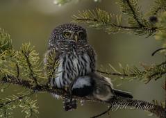 Northern Pygmy Owl Explore 9/11/2019  (由  21orion