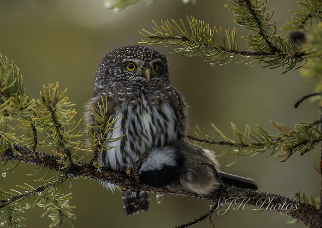 Northern Pygmy Owl Explore 9/11/2019