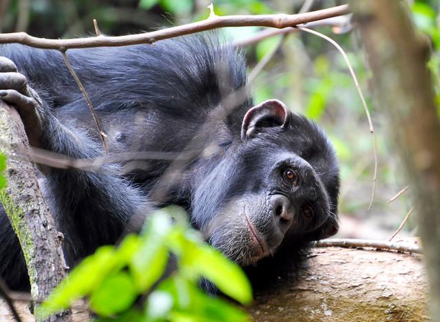Chimp - Rubondo