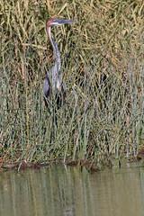 Goliath Heron In Hiding