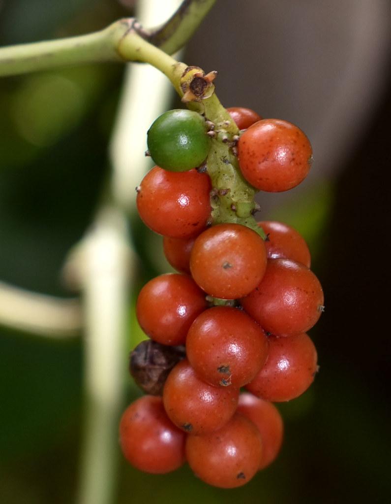 Piper nigrum, Flecker Botanic Garden, Cairns, QLD, 29/10/19
