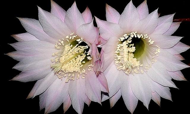 Echinopsis oxigona