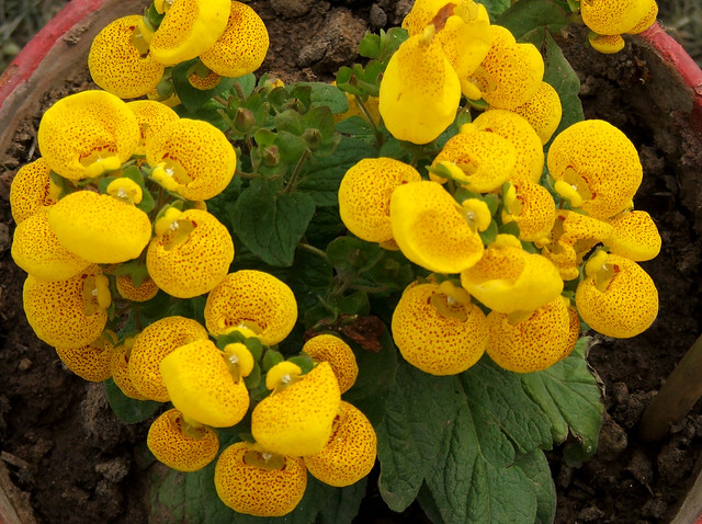 Calceolaria, also called lady's purse