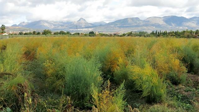 Asparagus fields forever