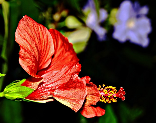 Hibiscus at night