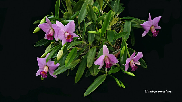 Cattleya (Laelia) praestans