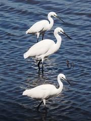 Three little egrets