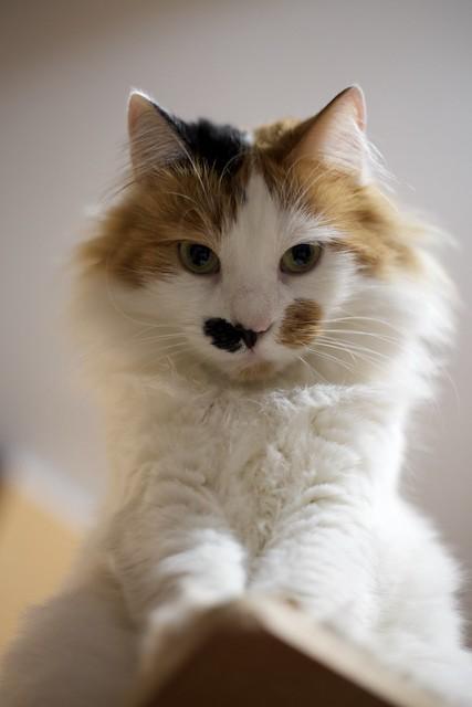 gatto Schiva