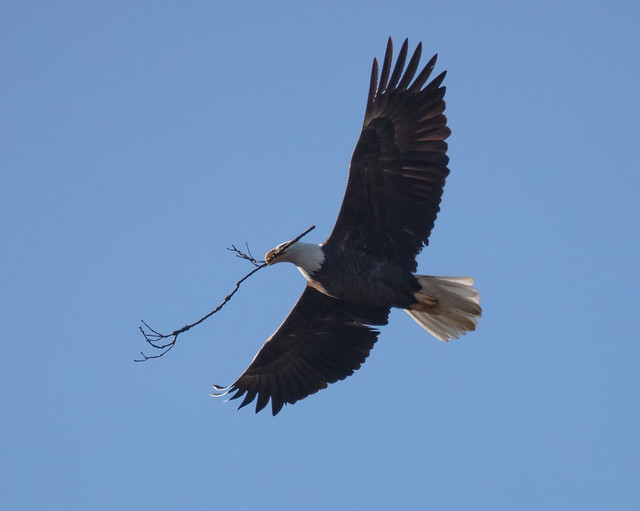 Bald Eagle flying with stick