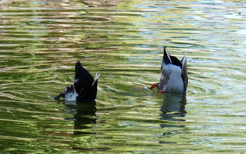 agua patos anade